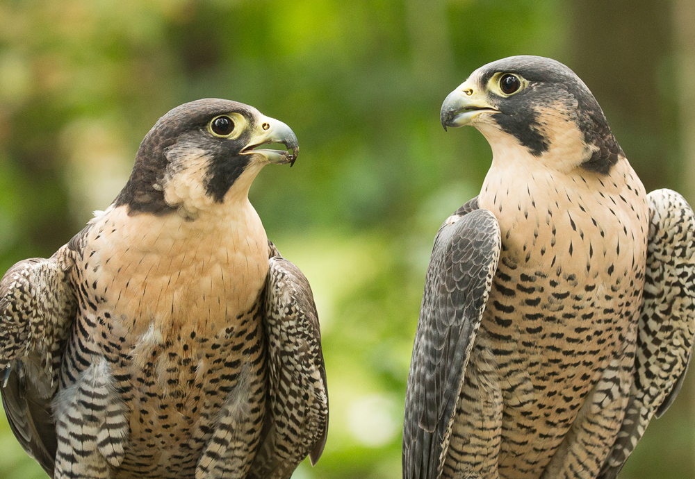 two falcons